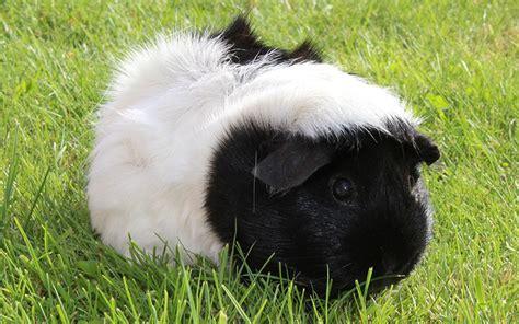 black  white guinea pig names  awesome ideas