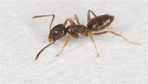 how to get rid of ants in bedroom ants in bedroom ants in your home get rid of them their