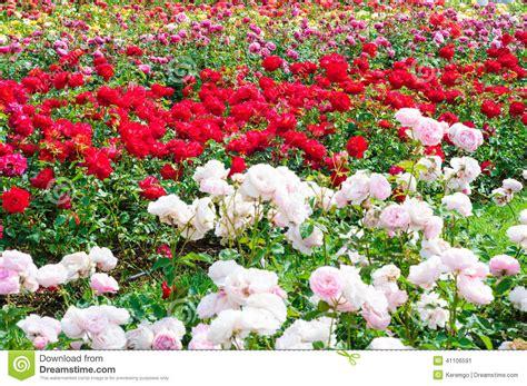 Garden Of Rosa E Jardim Das Rosas Foto De Stock Imagem 41106591