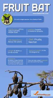 fruit bat infographic bat facts and information