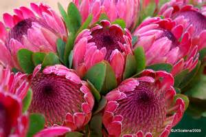 protea flower proteas flower photos