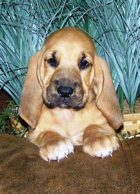 bloodhound puppies for sale in michigan bloodhound puppies for sale