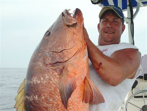Alabama Records Cubera Snapper Could Smash 26 Year Alabama State Record By More Than 32