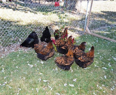Backyard Chickens Of County Chickens And Emus And Sheep Oh My St Louis Radio
