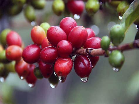 tentang kutu serangga  merusak buah kopi majalah otten coffee