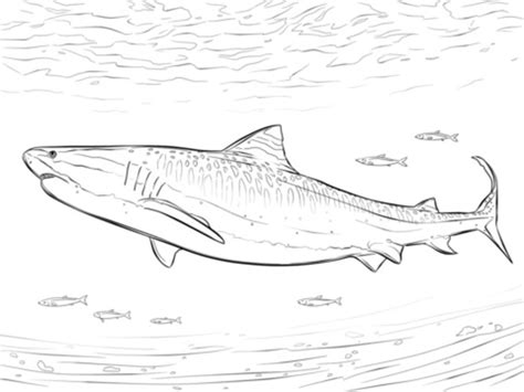 coloring pages of tiger fish coloring pages tiger shark printable for kids adults free