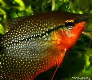 Pearl Gourami for Sale   AquariumFish.net