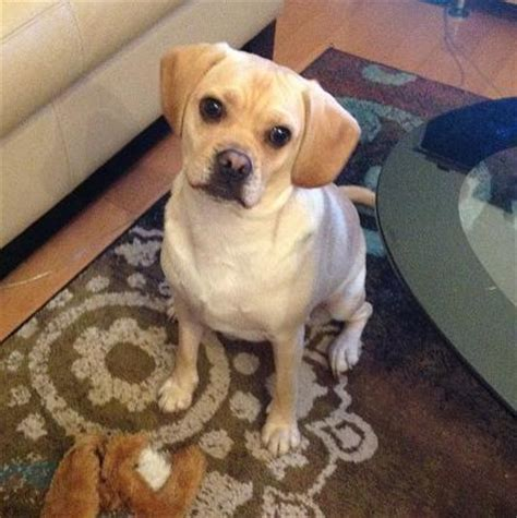puggle puppies for sale in michigan image gallery puggle adults