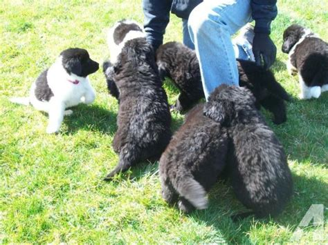 newfoundland puppies for sale in indiana newfoundland puppies ckc registered for sale in lebanon indiana classified