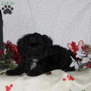 yorkie poo maryland yorkie poo puppies for sale yorkie poo breed info greenfield puppies