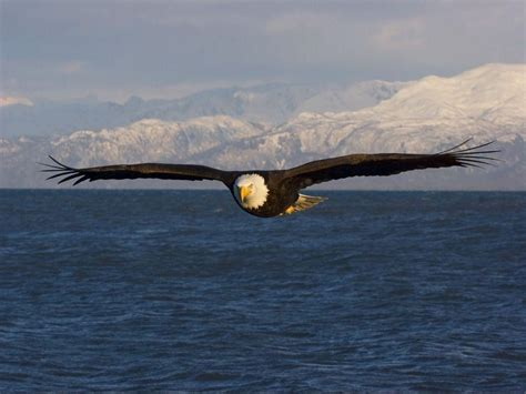 cool eagle wallpaper free bald eagle wallpapers wallpaper cave