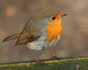 robin beautiful birds picture