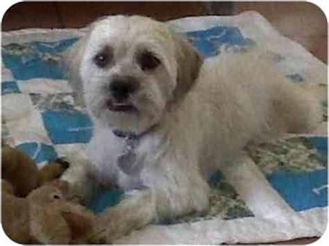 cairn terrier shih tzu mix puppies barney adopted scottsdale az cairn terrier shih tzu mix