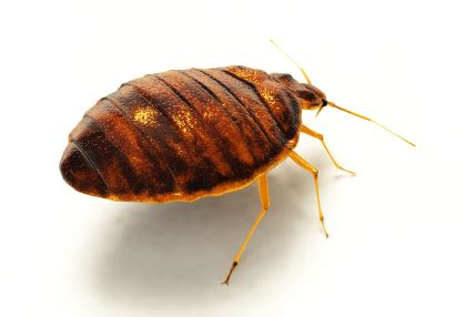 bed bugs milwaukee milwaukee bed bug prevention wisconsin bed bug control