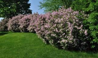 8 arbustes d 233 coratifs pour votre jardin trucs pratiques