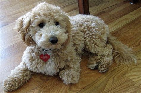 bich poo also known as poochon bichpoo bichon poodle 19 best poochon images on pinterest poochon puppies