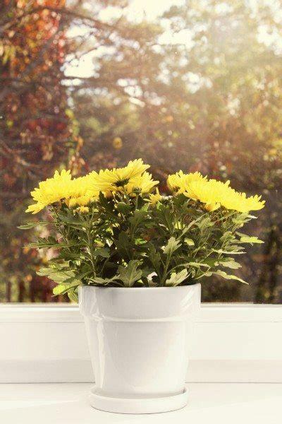 chrysanthemum houseplants   grow mums indoors