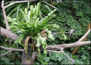 88 best images about gardening ferns on pinterest man beard spirals and maidenhair fern
