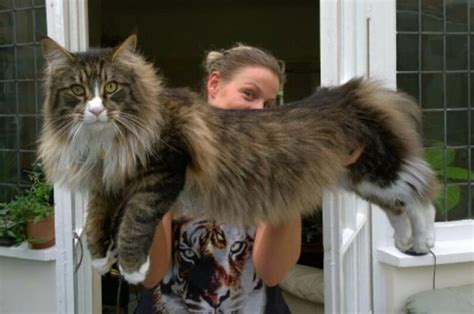 The Maine Coon ? Milomaine, Maine Coon Cats in Cornwall.