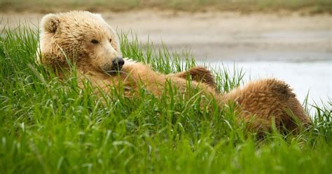grizzly bear resting   high grass hd animals wallpapers