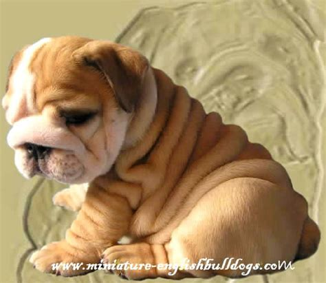 bulldog puppies az miniature bulldog puppies az about animals