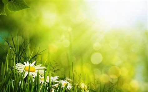 White Daisies in Green Grass Nature Background Wallpaper