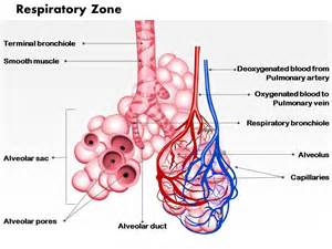 0514 Respiratory Zone Medical Images For PowerPoint
