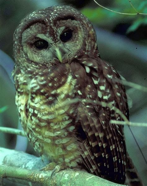 spotted owls what do spotted owls look like