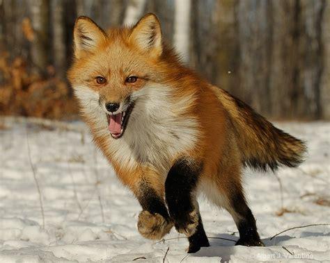 imagenes comicas de zorros animales en combate tej 211 n vs zorro