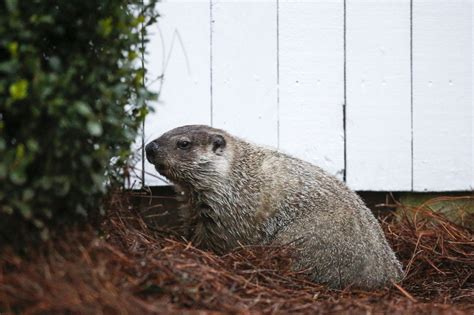 groundhog day yellow river ranch no shadow gwinnett s groundhog predicts an early