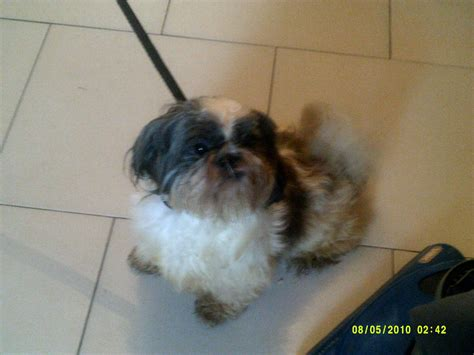 shih tzu for sale uk shih tzu dogs for sale in cardiff pets4homes auto design tech