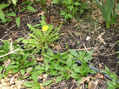 how to kill weeds in flower beds post emergent weed control in beds native fields