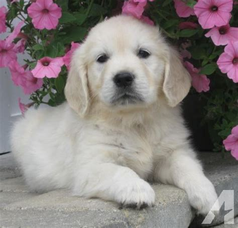 golden retriever puppies michigan golden retriever puppies available now for sale in