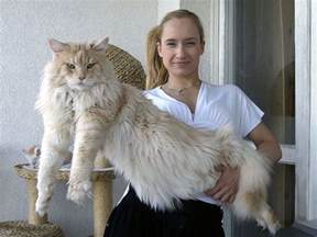 Barbara King by 16 Maine Coon Cats That Will Make Your Cat Look Tiny