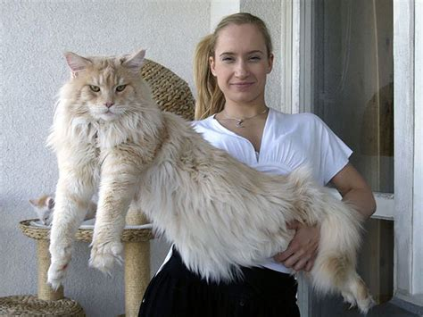 The Longest cat of the World Record   Maine Coon (16 Photos)