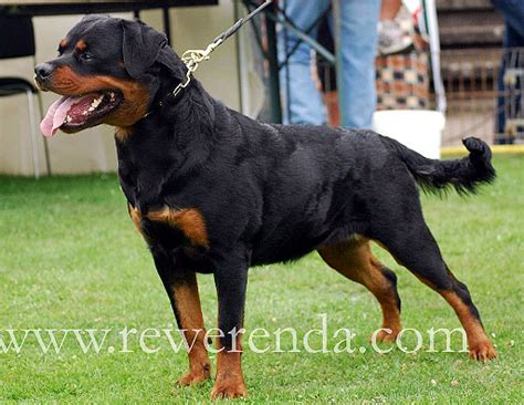 largest rottweiler rottweiler recorded breeds picture