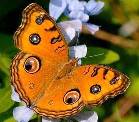 mariposas de espaa y lista las 12 mariposas m 225 s fascinantes del mundo