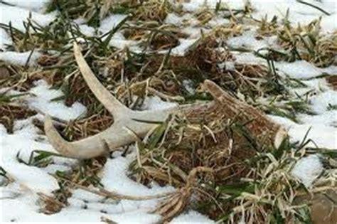 deer antler sheds