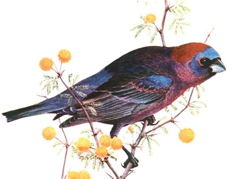 histories of american cardinals grosbeaks buntings towhees finches sparrows and allies order passeriformes family fringillidae literature cited and index classic reprint books birds of the world buntings