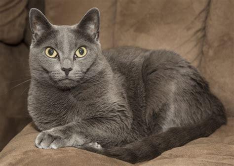 Blee Cat 2 russian blue cat russian blue cat pet insurance cat