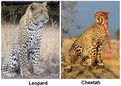 whats the difference between a leopard and a jaguar how to distinguish between a cheetah a leopard and a