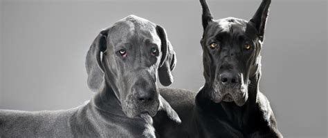 ear cropping dogs did you that tails and cropping ears affects more than a s appearance