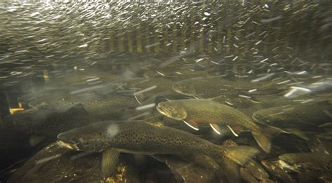 fish house near me brook trout make maine world class fishing destination the portland press herald