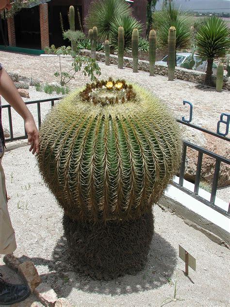 echinocactus wikipedia la enciclopedia libre