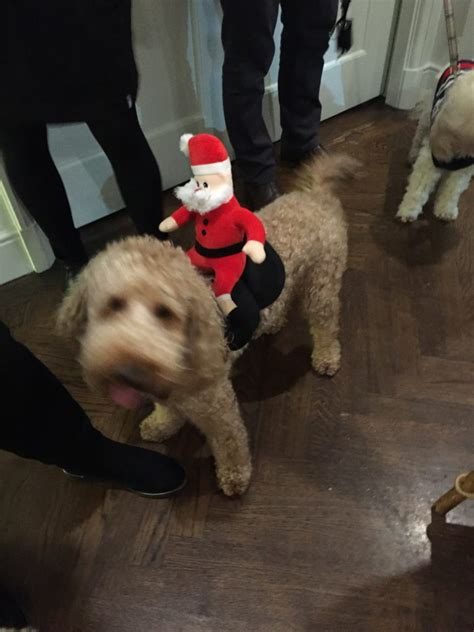 labradoodle christmas jumper we got dressed up in our jumpers