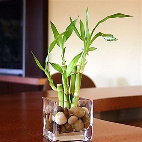 bamboo plant in bathroom 17 best ideas about lucky bamboo plants on pinterest zen