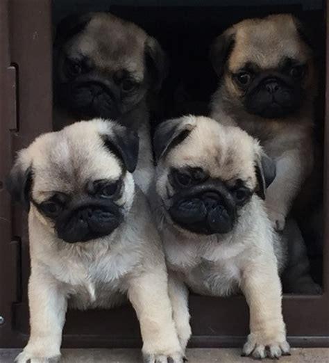 tesoro pugs puppies tesoro pugs