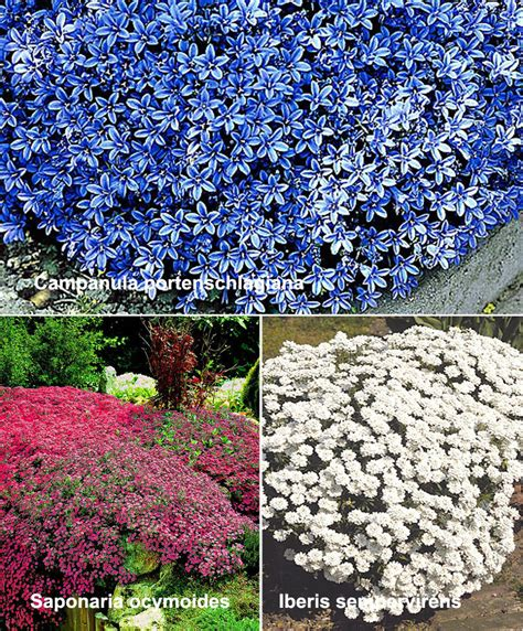 piante tappezzanti perenni fiorite acquista piante tappezzanti 3 variet 224 bakker