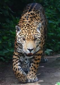 Jaguar Cat Wiki File Panthera Onca Tiergarten Sch 246 Nbrunn 2 Jpg