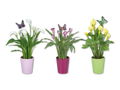 calla in vaso calla in vaso di ceramica con look farfalla svizzera